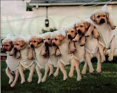 padmaja__Funny puppies on a clothes line clip